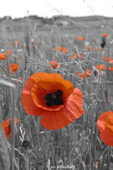 Red poppies (franci.onnis) Tags: sardegna flowers red primavera nature colors campagna poppies fiori papaveri
