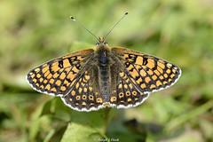 Glanville Fritillary (Ralph J Clark) Tags: butterfly spring surrey glanvillefritillary sigma105mmf28exdgmacroos