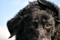 Poor Poppy (Pog's pix) Tags: portrait dog pet black cute wet face animal closeup outside outdoors scotland eyes bokeh outdoor head canine poppy waterdroplets shaking ayrshire behaviour kilmaurs eastayrshire