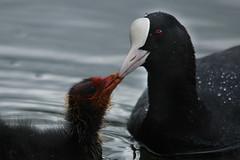 Coot Feeding Baby (Hr3n) Tags: baby bird nature animal spring pond feeding wildlife coot marple romanlakes