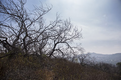 Stressed Park Trees (TreePeople) Tags: park trees tree dead bare canyon drought dying stressed coldwater treepeople