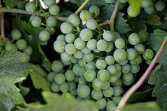 Life in the Vineyard (Dawna Kay) Tags: summer green living vineyard country grapes lodicalifornia