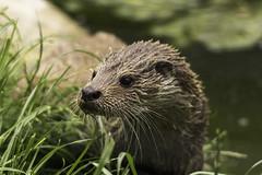 Otter (labprim8) Tags: wildwood europeanotter