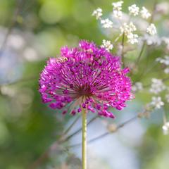 Allium - Purple Sensation (paulapics2) Tags: pink nature floral garden spring flora purple bokeh lavender blumen canon5d allium printemps cerise frhling sigma105mm aflatunense purplesensation hydehallgardens persianonion