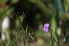 IMG_3449 (YoshGuenther) Tags: plant flower outdoors bokeh puertorico depthoffield pr aguada gratefulsoulshostel