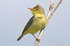 Hello! - Viva! (Yako36) Tags: bird portugal nature natureza ave birdwatching peniche ferrel tc14e nikonafs300f4 nikond7000