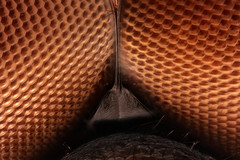 Dragonfly Face, Hig Mag (Macroscopic Solutions) Tags: macro fly compound eyes dragon dragonfly micro macropod odonata microkit