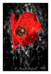 Coquelicot (armandbrignoli) Tags: fleurs noir et blanc coquelicot macro red rouge plante flower