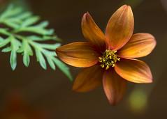 God is in the details (ferpectshotz) Tags: california orange flower star bokeh bokehwhores