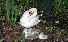 Airthrey Campus (24) (lairig4) Tags: scotland stirling bridgeofallan university campus airthrey cygnets swans loch
