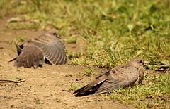mourning dove dust bath (Salamanderdance) Tags: summer bird bath mourning dove young dust immature
