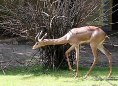10-IMG_2168 (hemingwayfoto) Tags: afrika antilope berlin gazelle giraffengazelle horntrger horntrager lebewesen litocraniuswalleri natur paarhufer sugetier sdlich schlank tier wiederkuer wild zoo
