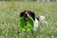 26/52 ZigZag 2016 (Flemming Andersen) Tags: dog animal denmark outdoor dk zigzag jelling 52weeksfordogs regionsyddanmark