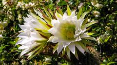 IMG_6055.jpg (Jim Getchell) Tags: 16x9 flora