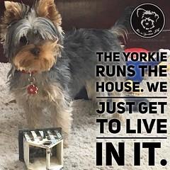 Click love if it's true at your house too (itsayorkielife) Tags: instagram itsayorkielife yorkie yorkshireterrier