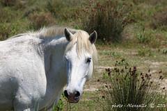 Primo piano (Alessandro.Gallo) Tags: natura francia cavalli palude animali camargue statobrado alessandrogallo photoalexgallo