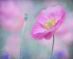 it's an attitude (Betty Jo ) Tags: pink flowers flower texture floral ngc npc poppy poppies ll textured poppyfield ~themagicofcolours~ii