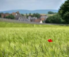Au loin, Saint-Laurent-l'Abbaye (Thierry.Vaye) Tags: france bokeh nivernais campagne champ coquelicot blé nièvre