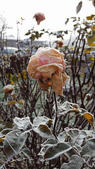 Slow death (Daniela Evelyn) Tags: chile winter cold ice nature rose frozen frost july rosa invierno hielo temuco helada escarcha