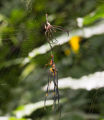 IMG_7636-1 molting spider  Nephila pilipes (vlee1009) Tags: spiders july mating    molting  2016