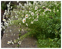 Crying in the rain (heinrich_511) Tags: rain daisies garden d750 margaritas aha 1485mm