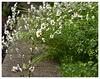 Crying in the rain (heinrich_511 on/off) Tags: rain daisies garden d750 margaritas aha 1485mm