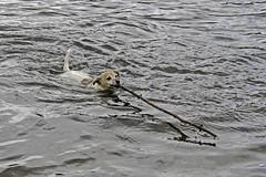 A Wimbleball Swim (me'nthedogs) Tags: lake swimming somerset reservoir terrier snaps jackrussell exmoor wimbleball littledoglaughedstories