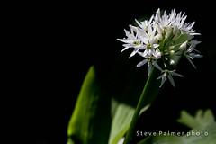 Wild Garlic (outdoorjive@btinternet.com) Tags: desktop uk walking other spring places southeast flikr southdownsway