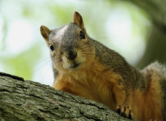 Squirrel, Morton Arboretum. 351 (EOS) (Mega-Magpie) Tags: usa tree nature america canon outdoors eos illinois squirrel outdoor wildlife dupage arboretum il morton lisle 60d