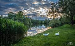 Bobovica lake (Milan Z81) Tags: sunset lake nature swan croatia priroda labud hrvatska zalazak jezero samobor bobovica