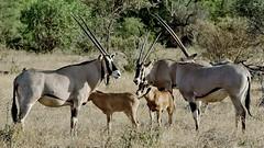 Oryx and Calves (Susan Roehl) Tags: kenya2015 samburunationalreserve kenya eastafrica beisaoryx adultsandyoung oryxbeisa largeantelope gemsbock africaandarabia sueroehl naturalexposures photographictours pentaxk3 150500sigmalens ngc