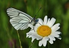 Baum-Weiling (Aporia crataegi) (Hugo von Schreck) Tags: macro butterfly insect outdoor falter makro insekt schmetterling aporiacrataegi weisling baumweisling onlythebestofnature tamron28300mmf3563divcpzda010 canoneos5dsr hugovonschreck