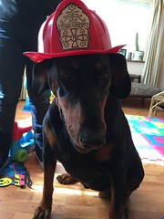 Paw Patrol To The Rescue - Female Doberman Pinscher Firefighter Gabbana Ready For A Turn Out (firehouse.ie) Tags: dog black dogs girl female tan canine doberman firefighter dobie pinscher k9 blackandtan dobe gabbana dobermann dobies dobermans dobes pinschers dobermanns