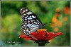 6237 - blue tiger (chandrasekaran a 38 lakhs views Thanks to all) Tags: flowers india nature canon butterfly insects zinnia chennai bluetiger eos400d