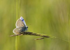 En balance (Mariette80) Tags: papillon argusbleu