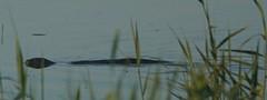 Reflecting Otter (Peet Carr) Tags: otter mustelidae lutralutra lutrinae europeanotter eurasianotter rspbminsmere