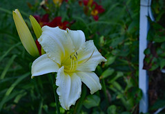 Paler Shade of Yellow (BKHagar *Kim*) Tags: flowers flower nature yard garden al lily alabama moms bloom tanner bkhagar