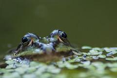 Froschaugen (grasso.gino) Tags: nature animals closeup tiere pond eyes nikon natur frog augen teich frosch nahaufnahme d5200