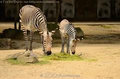 Hartmanns bergzebra - Equus zebra hartmannae - Hartmann's mountain zebra (MrTDiddy) Tags: horse baby mountain berg mammal zoo young zebra antwerp antwerpen zooantwerpen jong equus paard foal veulen zoogdier hartmanns hartmannae bergzebra
