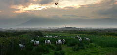 Misty morning (Barbara Walsh Photography) Tags: morning ireland light field grass misty clouds sheep kerry