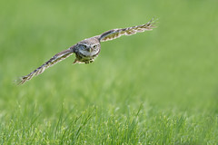 Little Owl in flight (skees499 ) Tags: nature natuur hide owl d500 natureshots littleowl athenenoctua uilen naturepics steenuil nikonpics keesmolenaar