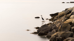 patience (keith[martin]working) Tags: ocean longexposure water vancouver fishing shoreline stanleypark blueheron summerevening neutraldensity keithmartin 10stop a7r