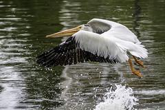 American White Pelican (Glenn R Parker) Tags: pelican americanwhitepelican