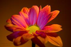 Deslumbrante (marcus turkill) Tags: flowers flores macro daisy margarita macrophotography macrofotografia mavc nikond3300