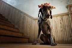 Southern Belle (MilkaWay) Tags: flowers dog house abandoned stairs birddog tessa thesouth mansion 7yearsold antebellum gsp germanshorthairedpointer flowerwreath morgancounty blumenkranz ruralgeorgia littledoglaughedstories littledoglaughednoiret
