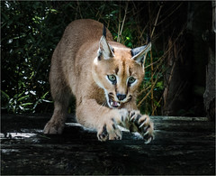 Griffin (Id11snapper) Tags: whf griffin caracal tallons claws