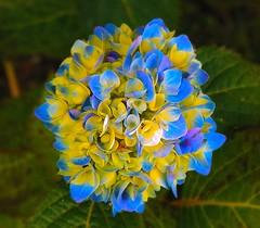 Multicolored Hydrangia (chowdhuryfarah) Tags: blue purple multicoloured hydrangia