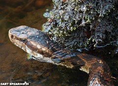 Beidler Forest Copperhead (freshairphoto) Tags: copperhead snake reptile swamp beidler forest waterscales south carolina artspearing nikon d80 300mm teleconverter beanbag