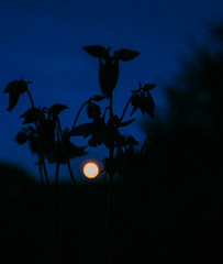 Poem without words (mripp) Tags: flower blume nature art kunst night nacht silhouette moon mind sky dark dream romance romantic love liebe leica q outside blue blau poem gedicht