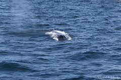 Humpback Whale (Vinchel) Tags: animal boston america canon outdoor wildlife whale f2 200mm cetacean 1dx